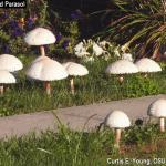 Mushrooms popping up in lawns raise many questions from homeowners.  What are they?  How did they get there? And can I eat them?