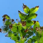 Hopper  Burn and Japanese Beetle Damage