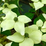 Kousa dogwood in bloom