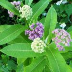 The beauty of milkweed flowers