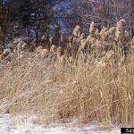Phragmites After A Snow