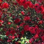 Floweringquince