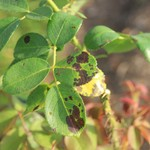 Rose black spot disease, caused by the pathogen Diplocarpon rosae