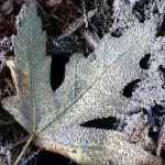 slime mold on maple leaf and mulch