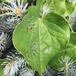 spruce needles stab redbud leaf