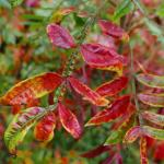 The lustrous fall foliage of shining sumac