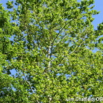 sycamores leafed out in mid-july