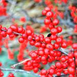 Red Sprite winterberry holly