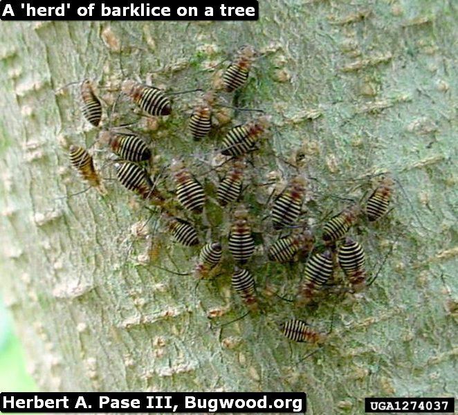 a-herd-of-barklice-on-a-tree--768x696.jpg